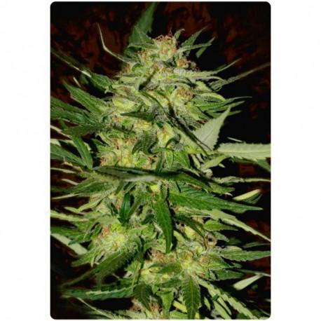 advanced seeds - jack Plant