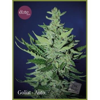 Goliat - Autofloreciente