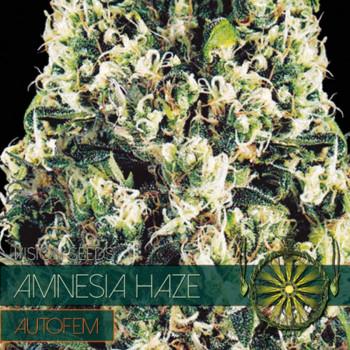 Auto Amnesia Haze