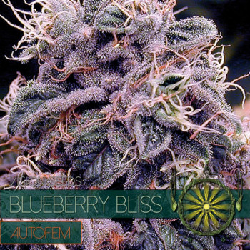 Auto Blueberry Bliss