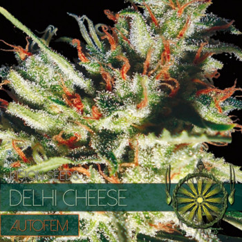 Auto Delhi Cheese