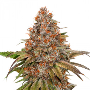 Auto Blackberry Gum