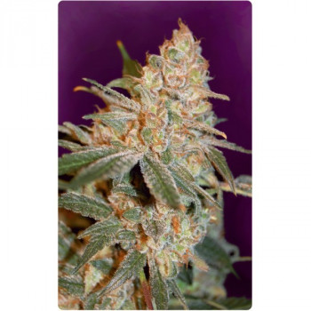 Advanced Seeds - Black Diesel