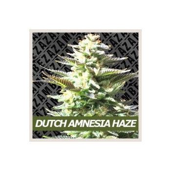 Dutch Amnesia Haze