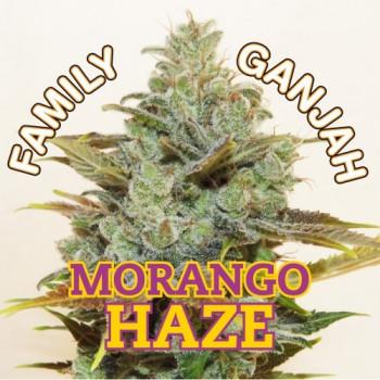 MORANGO HAZE - feminizada
