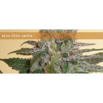 Blue Elite Sativa