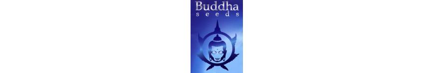 BUDDHA Seeds - Planta-T Alicante grow online